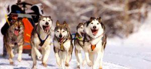 huskyes-laponia-trineos-viajohoy-com Viajar a Laponia en Navidad