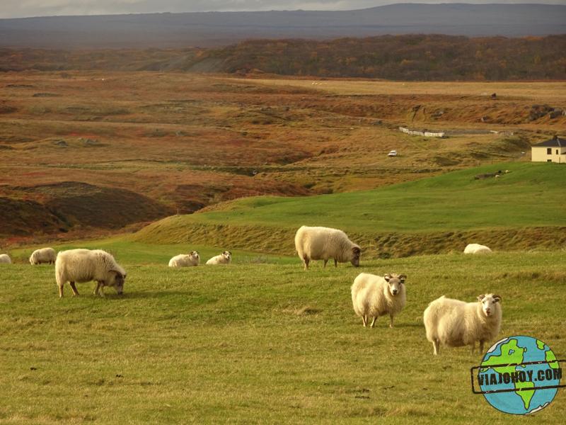 ovejas-Islandia-viajohoy1